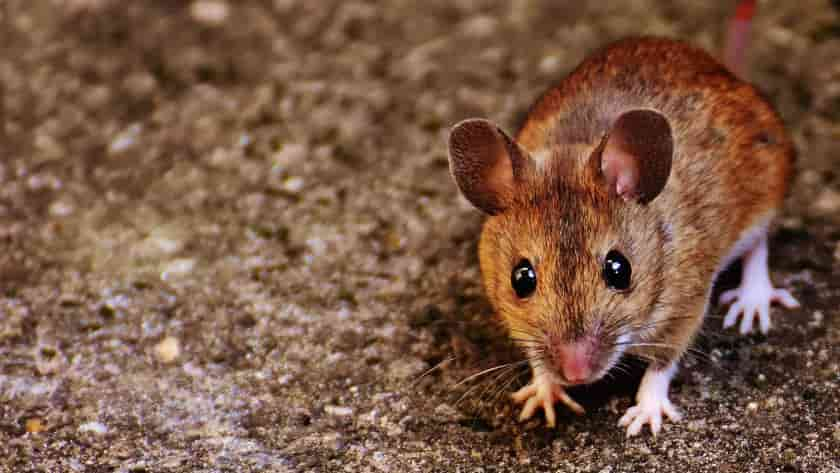 How To Keep Mice Away From Barbecue Grills | 6 Easy Ways